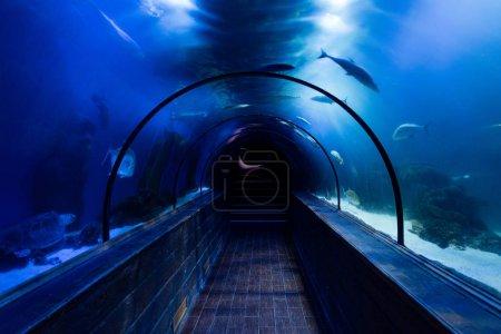 Photo pour Poissons nageant sous l'eau dans l'aquarium au-dessus du passage avec éclairage bleu - image libre de droit