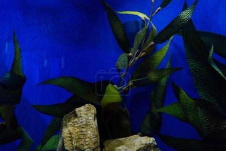 Photo pour Plante verte avec des feuilles et des pierres sous l'eau dans l'aquarium avec éclairage bleu - image libre de droit