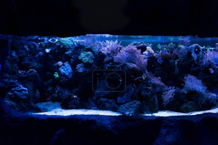 Photo for Fishes swimming under water among corals in aquarium with blue lighting - Royalty Free Image