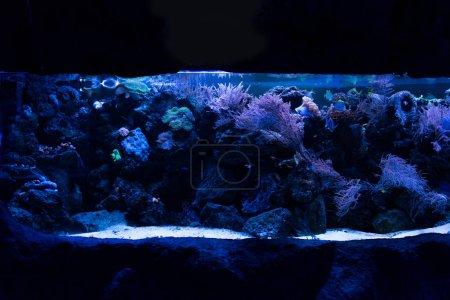 Photo pour Poissons nageant sous l'eau parmi les coraux dans un aquarium avec éclairage bleu - image libre de droit