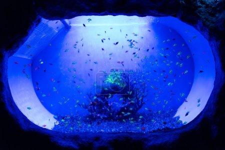 Photo pour Petits poissons nageant sous l'eau dans un aquarium avec éclairage bleu - image libre de droit