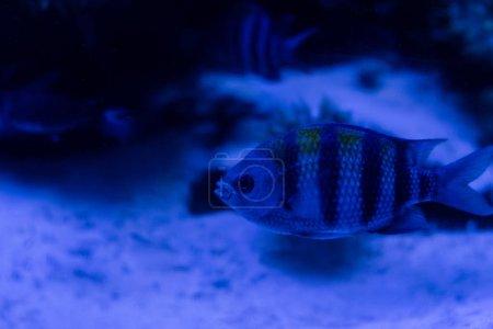 Photo pour Poissons rayés nageant sous l'eau dans un aquarium à éclairage bleu - image libre de droit