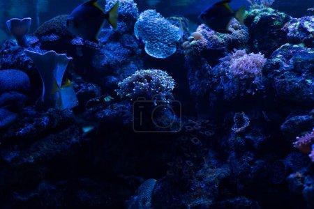 Photo pour Poissons nageant sous l'eau dans un aquarium avec éclairage bleu et coraux - image libre de droit