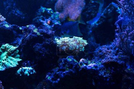 Photo pour Coraux exotiques au néon immergés dans l'eau dans un aquarium à éclairage bleu - image libre de droit