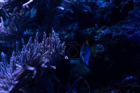 Photo for Fish swimming under water in dark aquarium with corals - Royalty Free Image