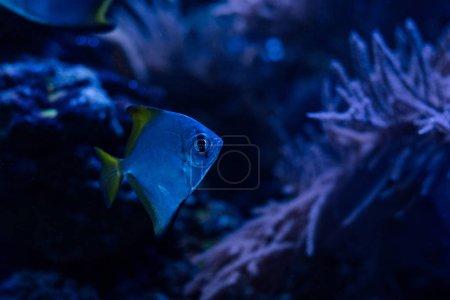 Foto de Peces exóticos nadando bajo el agua en acuario oscuro con iluminación azul. - Imagen libre de derechos