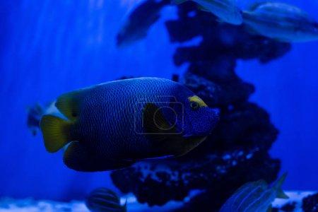 exotic fish swimming under water in aquarium with blue neon lighting