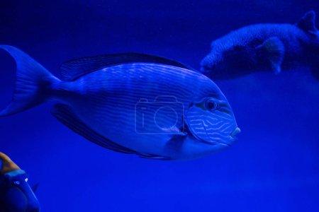 Photo pour Poissons nageant sous l'eau dans un aquarium avec éclairage bleu au néon - image libre de droit