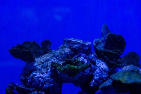 Photo pour Coraux exotiques sous l'eau dans un aquarium avec éclairage bleu au néon - image libre de droit