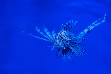 Photo for Exotic striped fish swimming under water in aquarium with blue neon lighting - Royalty Free Image