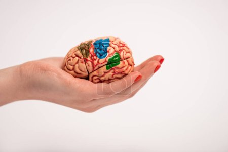 Photo for Cropped view of woman holding in hand brain model with colored parts isolated on white, alzheimer disease concept - Royalty Free Image