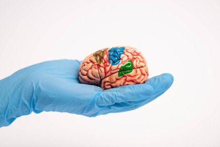 """Photo pour """"Cropped view of doctor holding brain model with colored parts isolated on white, alzheimer disease concept"""" - image libre de droit"""