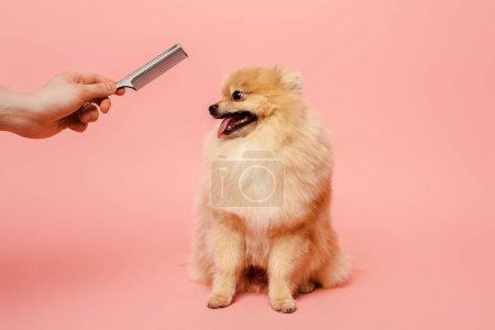 Photo pour Vue recadrée de toiletteur avec peigne faisant coiffure pour chien mignon sur rose - image libre de droit