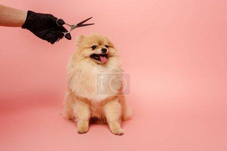 Photo pour Vue recadrée de toiletteur professionnel en gant de latex avec ciseaux faisant coiffure pour chien spitz poméranien sur rose - image libre de droit