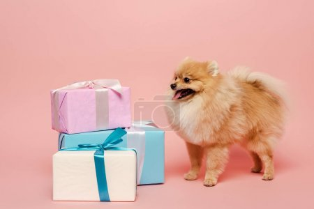 Photo for Cute pomeranian spitz dog with birthday gifts on pink - Royalty Free Image