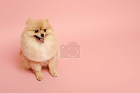 Photo pour Mignon petit chien spitz poméranien assis sur rose - image libre de droit