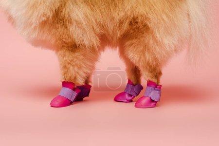 Photo pour Vue recadrée de spitz poméranien debout dans des chaussures de chien sur rose - image libre de droit