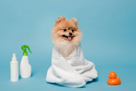 Photo for Little pomeranian spitz dog wrapped in towel on blue with spray bottles and rubber duck - Royalty Free Image