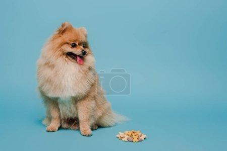 fluffy little pomeranian spitz dog with tablets on blue