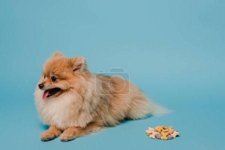 adorable fluffy pomeranian spitz dog with tablets on blue
