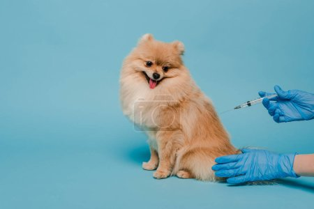 Photo for Cropped view of veterinarian in latex gloves holding syringe and making vaccination for spitz dog on blue - Royalty Free Image