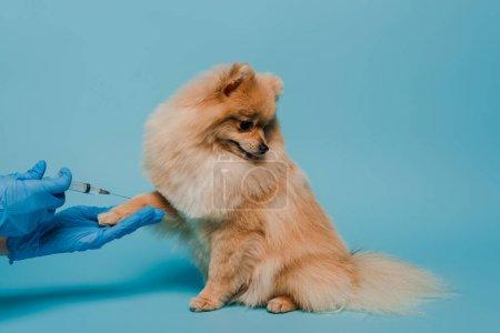 Photo pour Vue recadrée du vétérinaire dans des gants en latex tenant la seringue et faisant la vaccination pour chien sur bleu - image libre de droit