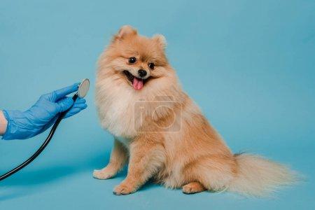 Photo pour Vue recadrée du vétérinaire en gant de latex examinant chien spitz mignon avec stéthoscope sur bleu - image libre de droit