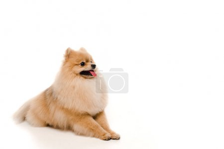 Photo pour Mignon drôle chien spitz poméranien couché sur blanc - image libre de droit