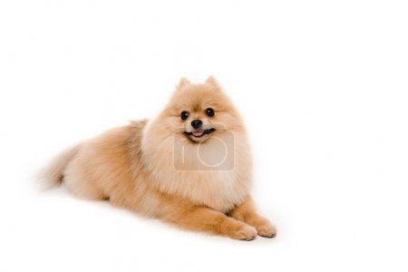 Photo pour Drôle petit chien spitz poméranien couché isolé sur blanc - image libre de droit