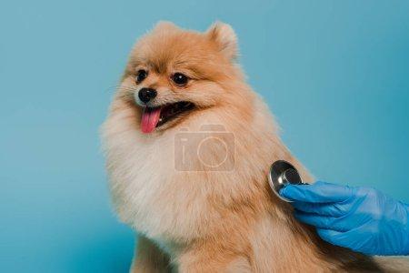 Photo pour Vue recadrée du vétérinaire en gant de latex examinant chien avec stéthoscope isolé sur bleu - image libre de droit