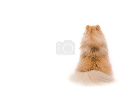 Photo pour Vue arrière du petit chien spitz poméranien assis isolé sur blanc - image libre de droit