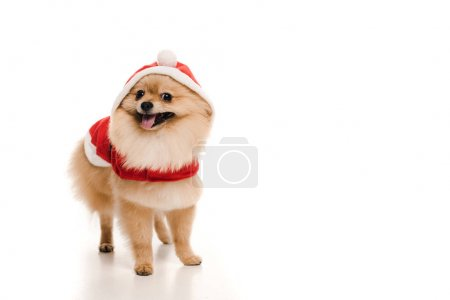 Photo for Furry pomeranian spitz dog in santa costume on white - Royalty Free Image