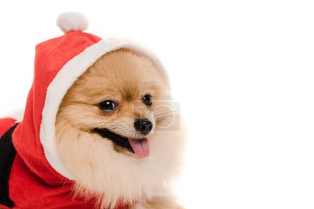 Photo for Pomeranian spitz dog in santa costume at christmastime isolated on white - Royalty Free Image