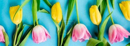 Photo pour Plan panoramique de tulipes jaunes et roses en fleurs sur bleu, concept de fête des mères - image libre de droit