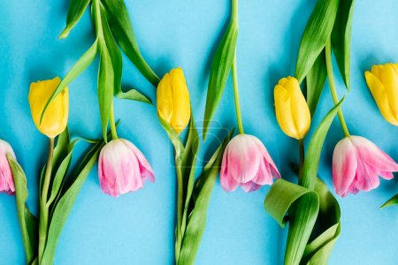 top view of blooming pink and yellow tulips on blue, mothers day concept