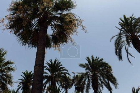 Photo pour Vue à faible angle des palmiers avec ciel bleu en arrière-plan - image libre de droit