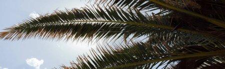 Foto de Vista de abajo de ramas de palmeras con cielo a fondo, tiro panorámico. - Imagen libre de derechos