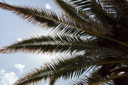 Bottom view of palm tree with blue sky with clouds at background