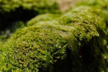 Photo pour Vue rapprochée des algues vertes sur pierre - image libre de droit