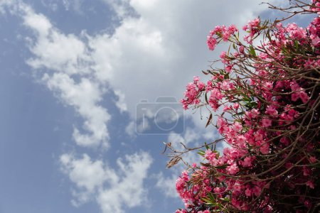 Photo for Bottom view of pink blooming plant with cloudy sky at background - Royalty Free Image