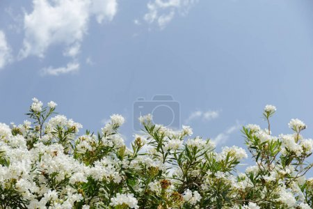 Photo for Low angle view of plant with white flowers and blue sky with clouds at background - Royalty Free Image