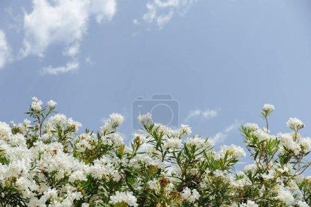 Foto de Vista baja de la planta con flores blancas y cielo azul con nubes a fondo. - Imagen libre de derechos