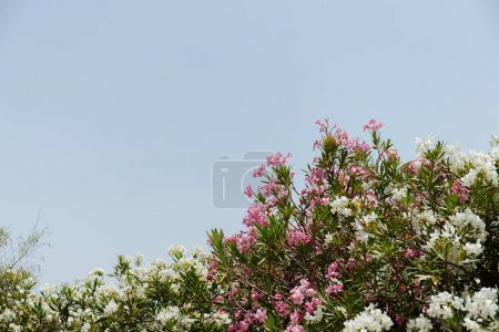 Photo for Selective focus of plants with white and pink flowers and clear sky at background - Royalty Free Image