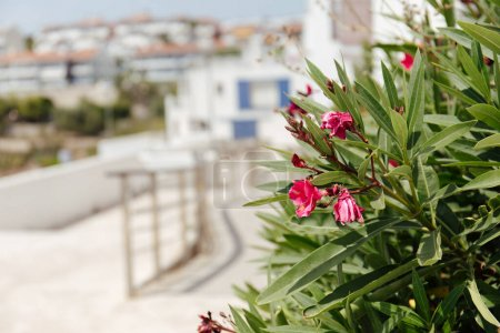 Selective focus of plant with pink flowers on urban street in Catalonia, Spain