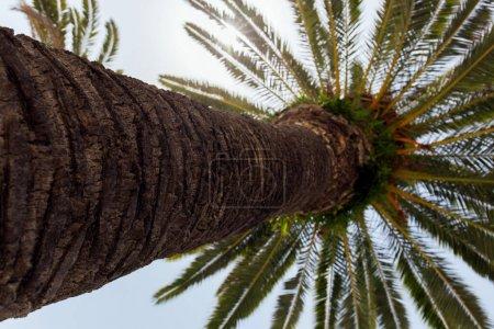 Photo pour Vue du bas du tronc de palmier avec la lumière du soleil et le ciel bleu en arrière-plan - image libre de droit