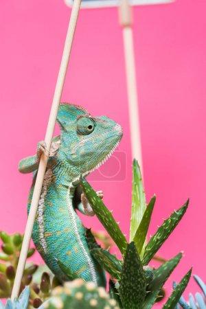 Photo pour Vue rapprochée du caméléon tropical coloré sur les plantes vertes isolées sur le rose - image libre de droit