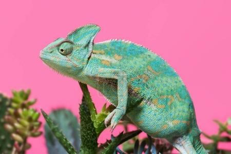 side view of funny tropical chameleon crawling on succulents isolated on pink