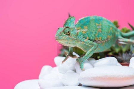 beautiful exotic chameleon crawling on stones isolated on pink