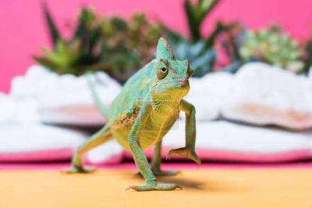 Photo for Close-up view of cute colorful chameleon crawling on pink - Royalty Free Image
