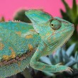 Side view of cute chameleon on succulents on pink...